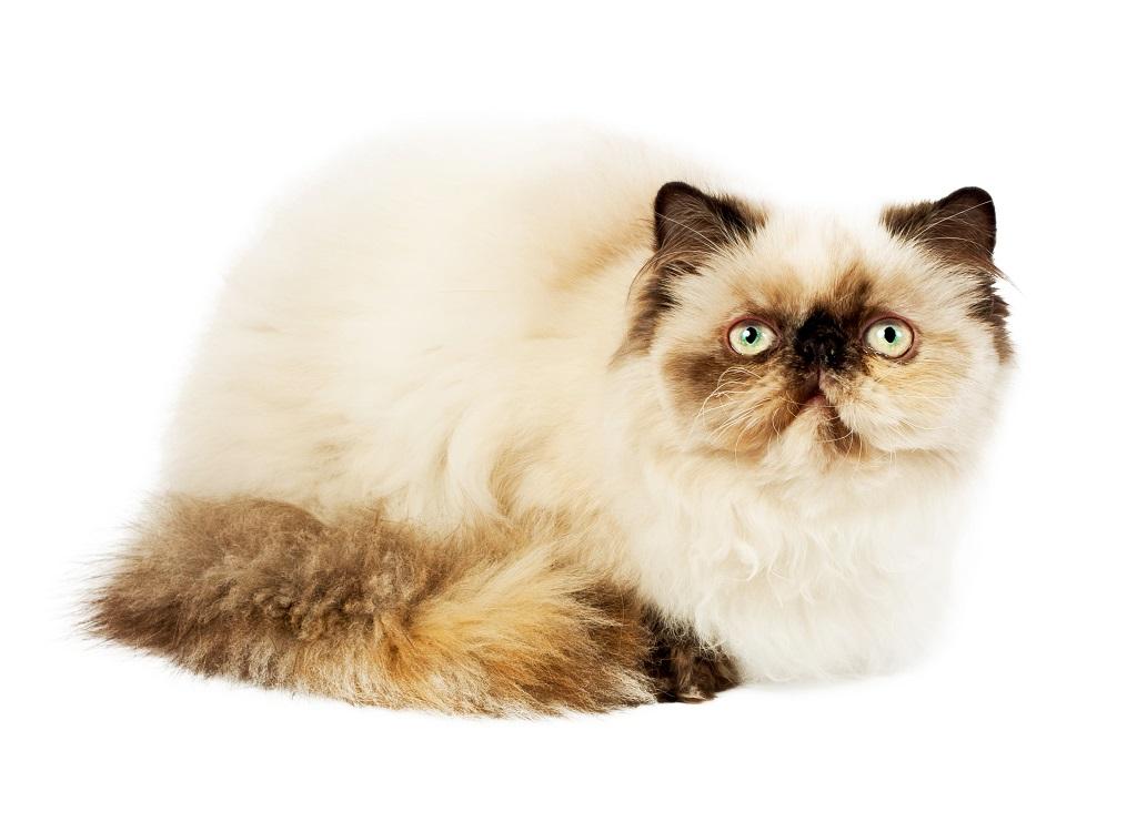Charakterystyka kotów perskich